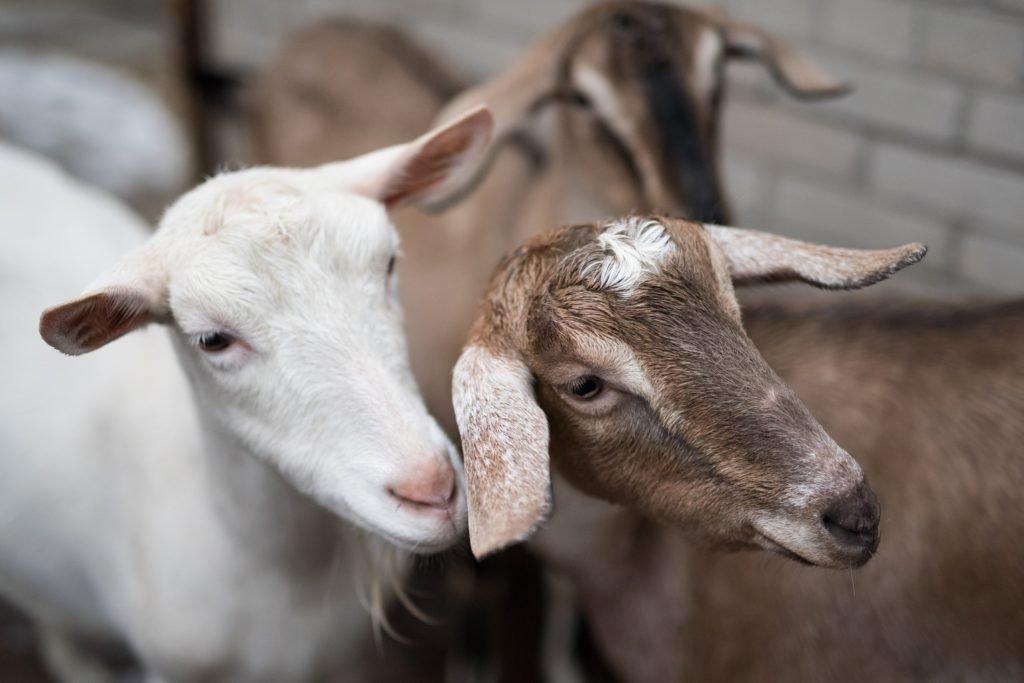 Common Goat Breeds