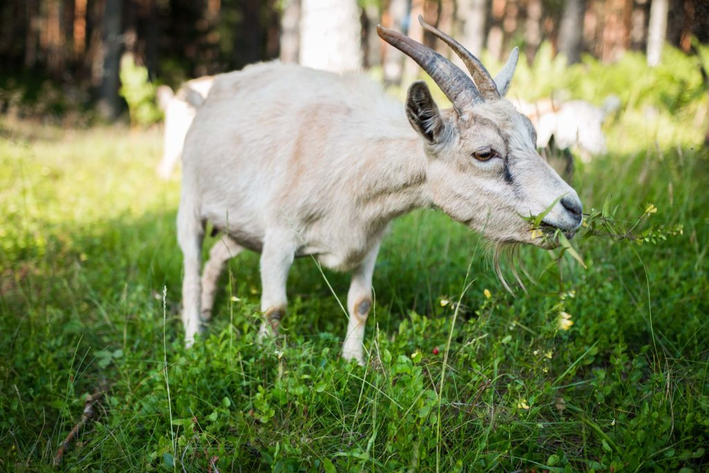 goat-eating-from-field