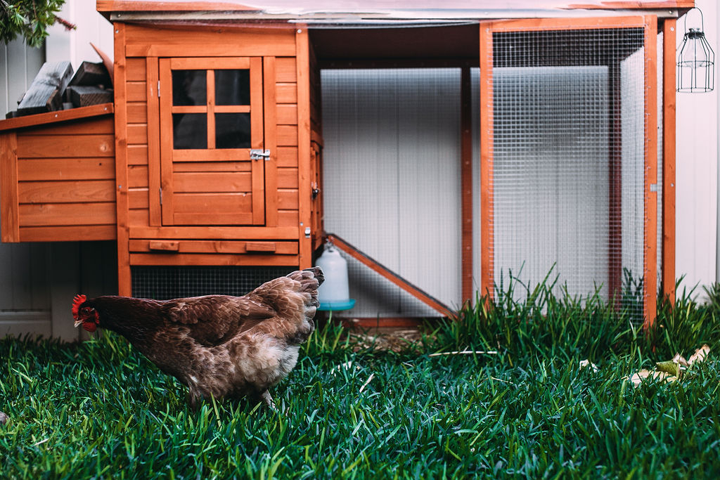 Reduce the stress of your chickens