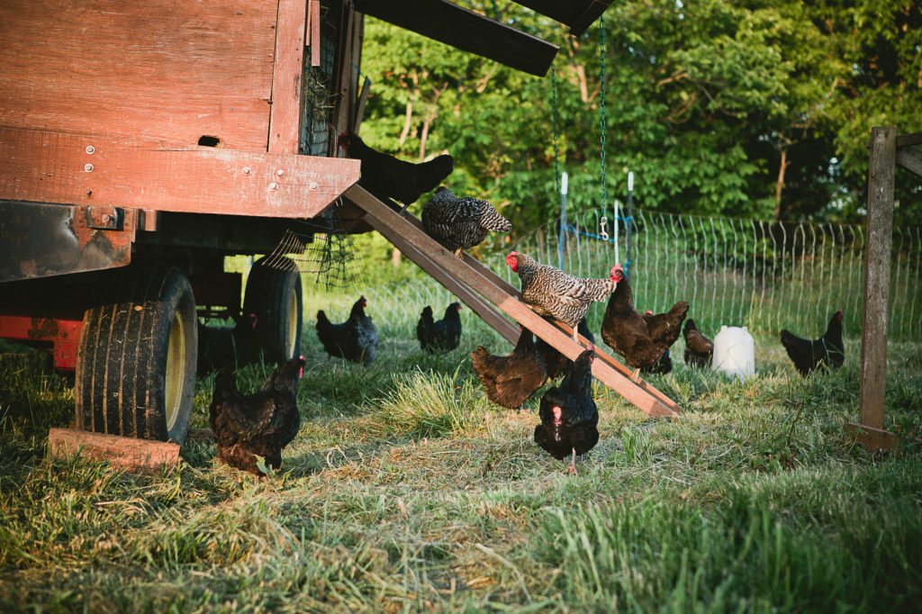 Teaching your chickens how to use the ramp