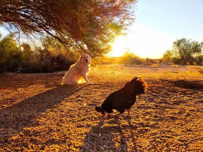 dog-watching-chicken-in-sunset