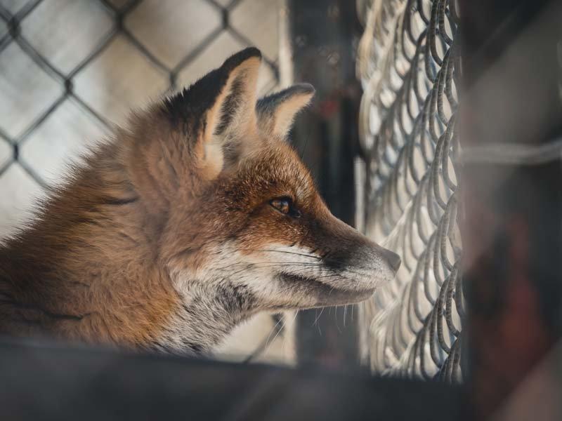 fox-chicken-predator